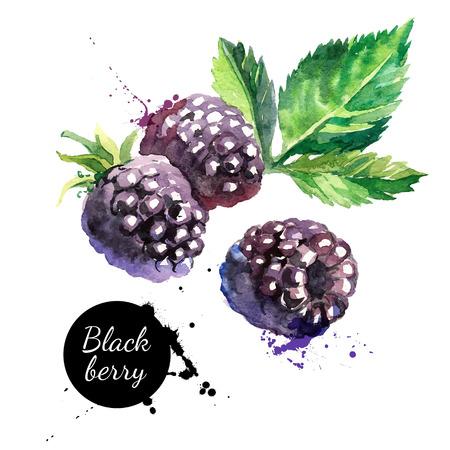frutas: Mano blackberry acuarela dibujada sobre fondo blanco. Ilustración del vector de las bayas