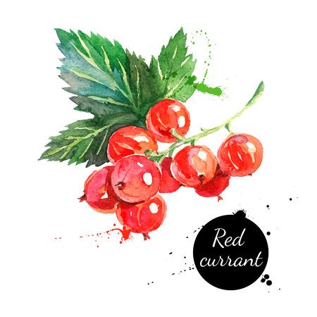 frutas: Mano acuarela dibujada pintura grosellas rojas sobre fondo blanco. Ilustraci�n del vector de las bayas Vectores