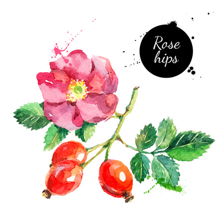 Hand drawn watercolor painting rosehips on white background. Vector illustration of berries