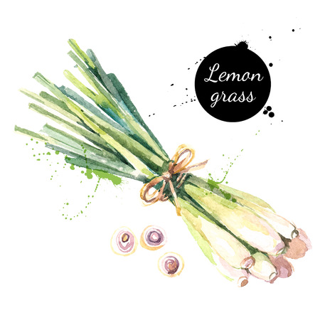 Lemongrass. Hand drawn watercolor painting on white background. Vector illustration