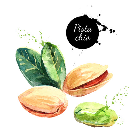 Hand drawn watercolor painting nut on white background. Vector trace illustration of pistachios