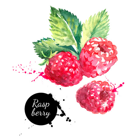 sketch: Hand drawn watercolor painting raspberry on white background. Vector illustration of berries