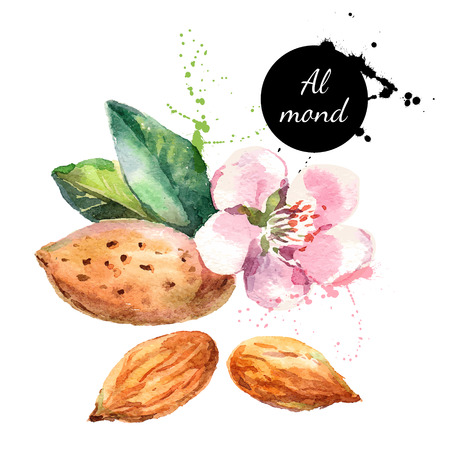 almond: Hand drawn watercolor painting on white background. Vector trace illustration of nut almond