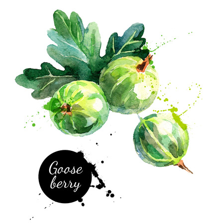 Hand drawn watercolor painting gooseberry on white background. Vector illustration of berries