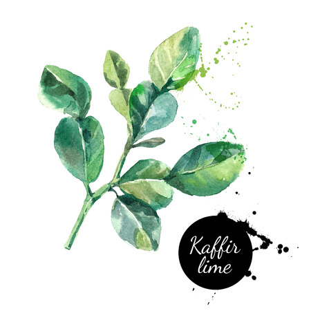 green paint: Kaffir lime leaves. Hand drawn watercolor painting on white background. Vector illustration