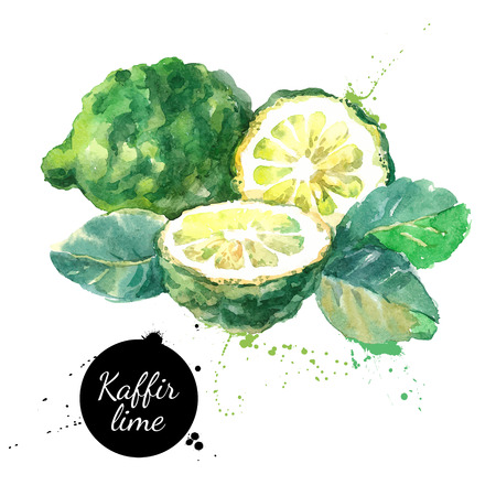 Kaffir lime. Hand drawn watercolor painting on white background. Vector illustration