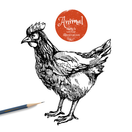 hens: Hand drawn chicken farm animal vector illustration. Sketch hen isolated on white background with pencil and label banner Stock Photo