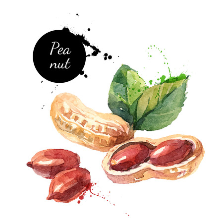 Hand drawn watercolor painting of peanut isolated on white background. Vector llustration of nut for your design