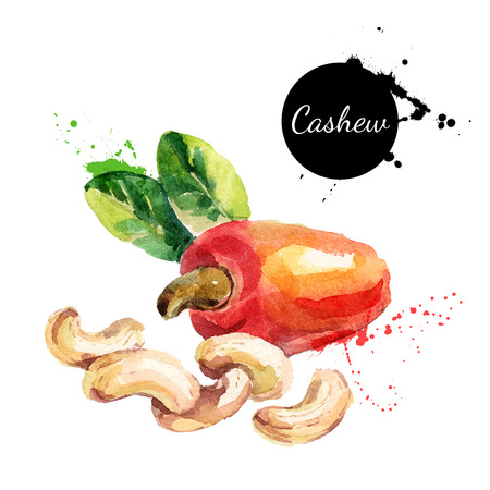 Hand drawn watercolor painting of cashew nut isolated on white background. Vector llustration of nut for your design