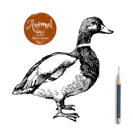 pato: Mano pato dibujado ilustración vectorial animal. Bosquejo aislado en fondo blanco con el lápiz y la etiqueta de la bandera