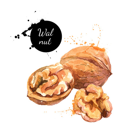 Hand drawn watercolor painting of walnut isolated on white background. Vector llustration of nut for your design