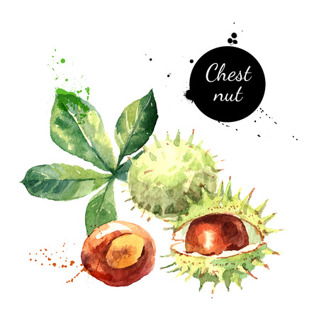 chestnuts: Hand drawn watercolor painting of chestnut isolated on white background. Vector llustration of nut for your design