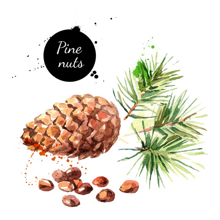 Hand drawn watercolor painting of pine nuts isolated on white background. Vector llustration of nut for your design