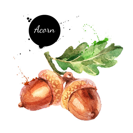 Hand drawn watercolor painting of acorn isolated on white background. Vector llustration of nut for your design 스톡 콘텐츠