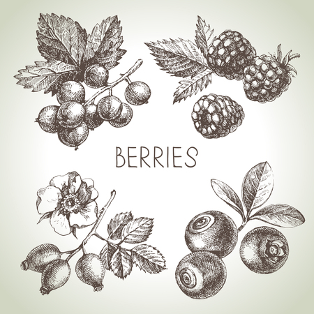 rose hips: sketch berries set. illustration of eco food