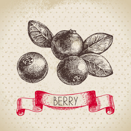 berry: Cranberry.  sketch berry vintage background. illustration of eco food