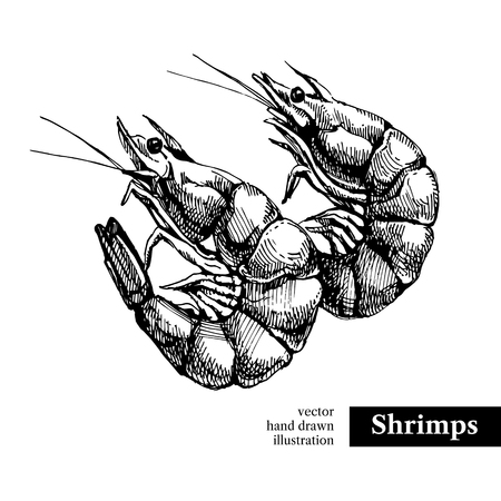 fish illustration: Hand drawn sketch seafood vector black and white vintage illustration of shrimps. Isolated object on white background. Menu design Illustration