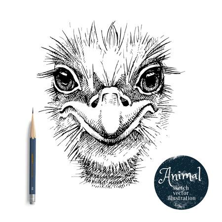 Hand getrokken struisvogel vogel hoofd vector illustratie. Schetsen geïsoleerde struisvogel portret op een witte achtergrond met potlood en label banner