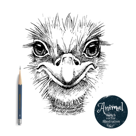 Hand drawn ostrich bird head vector illustration. Sketch isolated ostrich portrait on white background with pencil and label banner Vettoriali