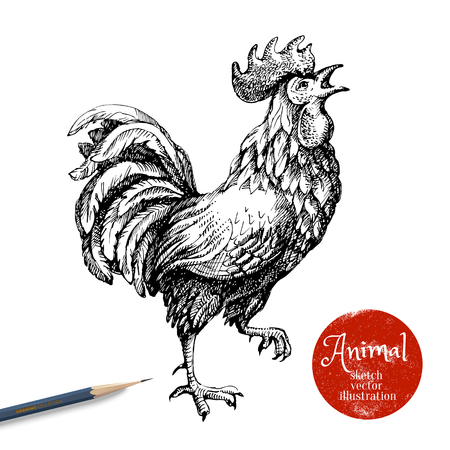 Hand drawn rooster illustration. Sketch chicken isolated on white background with pencil and label banner. Symbol of new year 2017 Illustration