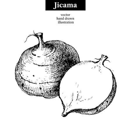 root vegetables: Hand drawn sketch jicama. Vector isolated vegetable food illustration Illustration