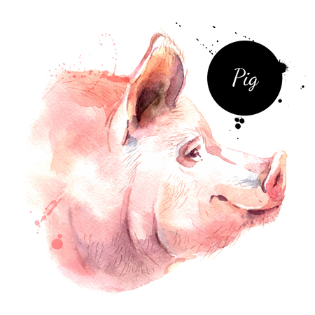 Watercolor hand drawn pig head illustration. Vector painted sketch isolated Çizim