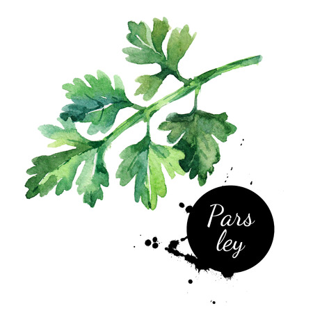 Watercolor hand drawn parsley. Isolated organic natural herbs illustration on white background  Stock Photo