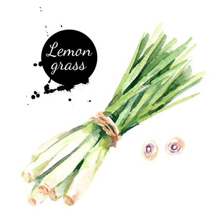 Watercolor hand drawn lemongrass. Isolated eco natural food vegetables herbs illustration on white background