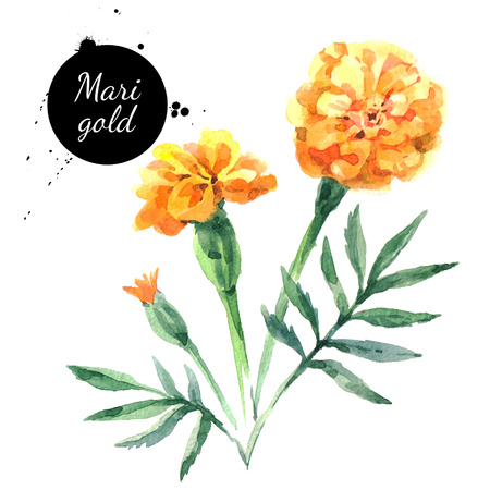 Hand drawn watercolor marigold flower illustration. Painted sketch botanical herbs isolated on white background Archivio Fotografico