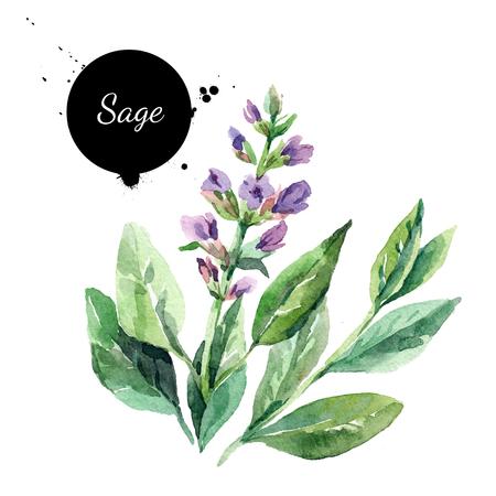 水彩手描き下ろしたくさん開花セージ。白い背景の上の隔離された有機天然ハーブ図