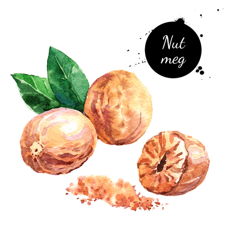 Hand drawn watercolor painting of nutmeg isolated on white background. Illustration of nut for your design