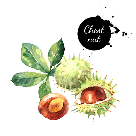 Hand drawn watercolor painting of chestnut isolated on white background. Illustration of nut for your design Reklamní fotografie