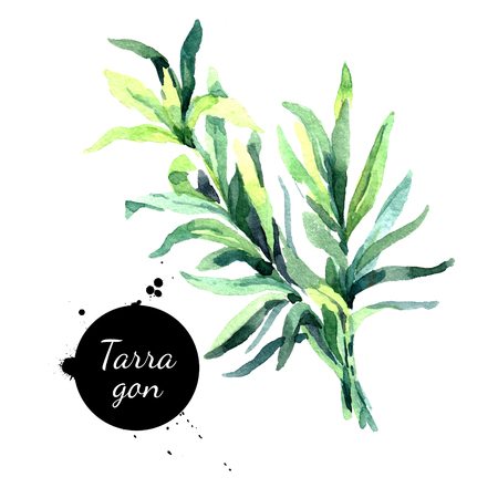 Watercolor hand drawn tarragon. Isolated eco natural herbs illustration on white background