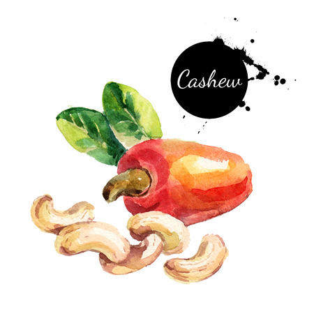 Hand drawn watercolor painting of cashew isolated on white background. Illustration of nut for your design