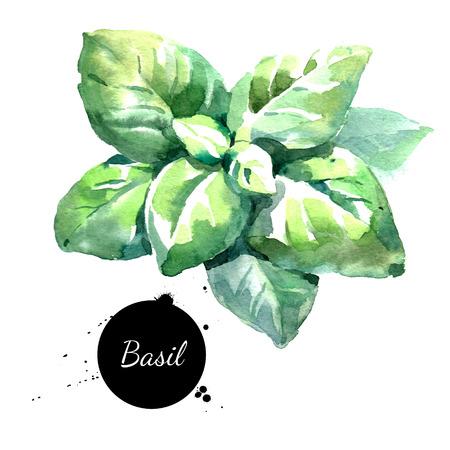 Aquarell Basilikum Blätter Isoliert Öko Lebensmittel Illustration auf weißem Hintergrund