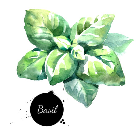 Watercolor basil leaves Isolated eco food illustration on white background