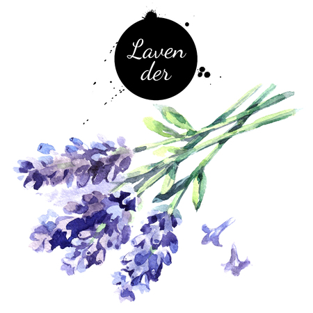 Mano de acuarela dibujado manojo de flores de lavanda. Aislado eco hierbas naturales ilustración sobre fondo blanco Foto de archivo - 71651545