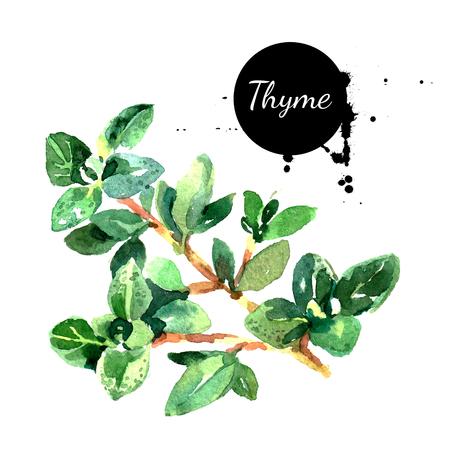 水彩の手描きタイム束。白い背景の上の隔離された環境自然食品ハーブ図
