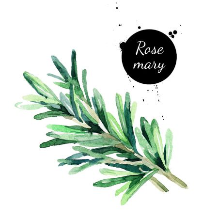 Watercolor hand drawn twig of rosemary. Isolated eco natural herbs illustration on white background