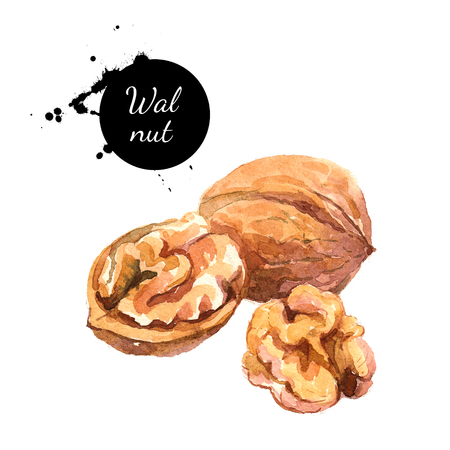 Hand drawn watercolor painting of walnut isolated on white background. Illustration of nut for your design