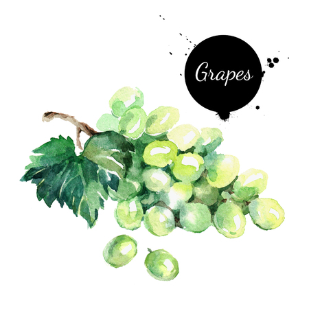 Hand drawn watercolor painting on white background. Organic illustration of fruit grapes