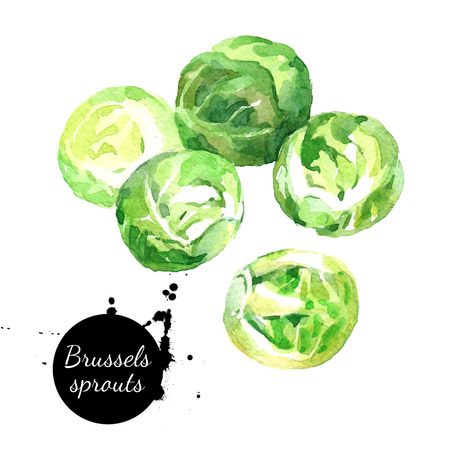 Watercolor hand drawn fresh brussels sprouts. Isolated organic natural eco illustration on white background
