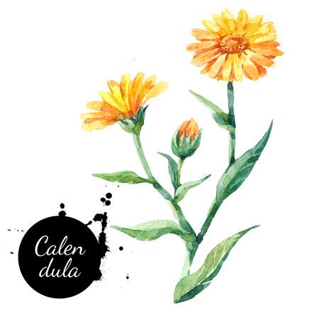 Dibujado a mano de acuarela ejemplo de la flor de caléndula. Pintadas hierbas botánicas boceto aislado en el fondo blanco