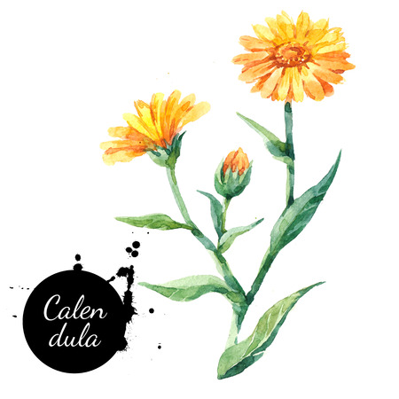 Hand drawn watercolor calendula flower illustration. Painted sketch botanical herbs isolated on white background  免版税图像