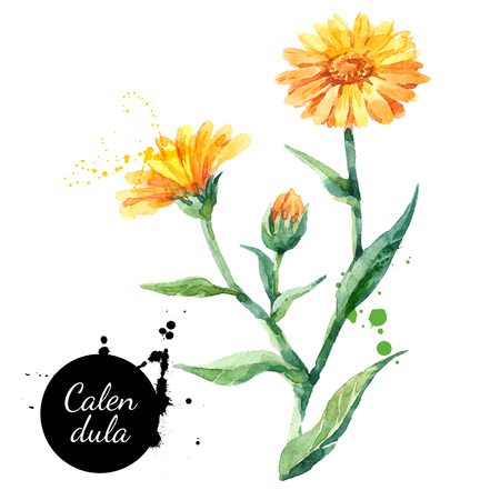 Hand drawn watercolor calendula flower illustration. Vector painted sketch botanical herbs isolated on white background