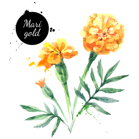 Hand drawn watercolor marigold flower illustration. Vector painted sketch botanical herbs isolated on white background