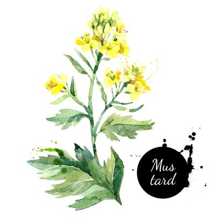 수채화 손으로 그려진 된 야생 겨자 꽃 그림. 흰색 배경에 고립 된 페인트 스케치
