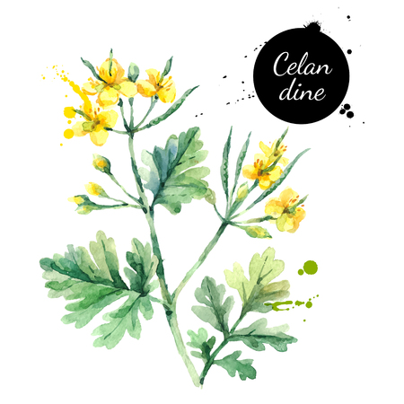 Hand drawn watercolor celandine flower illustration. Vector painted sketch botanical herbs isolated on white background  Ilustração
