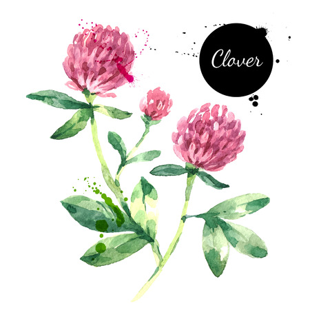 Hand drawn watercolor red clover flower illustration. Vector painted sketch trifolium pratense herbs botanical isolated on white background Vectores