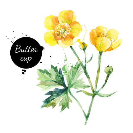 Hand drawn watercolor yellow buttercup flower illustration. Vector painted sketch botanical herbs isolated on white background  Ilustração